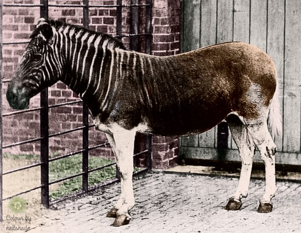 Quagga_photo