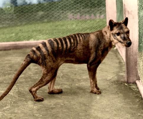 thylacine_tasmanian_tiger