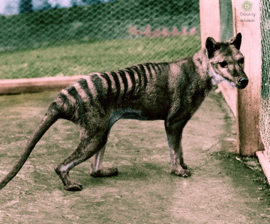 thylacine_tasmanian_tiger2