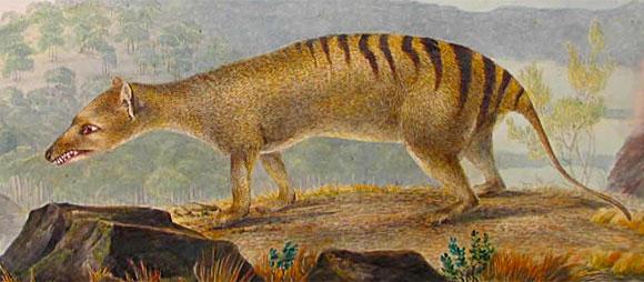 thylacineJohn Lewin