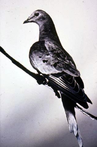 Martha_last_passenger_pigeon_1914